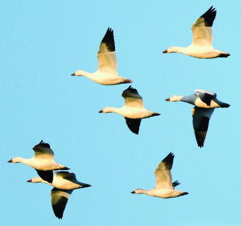 http://glengarry247.com/glengarry247/sites/default/files/field/image/photo winner (snow geese).jpg